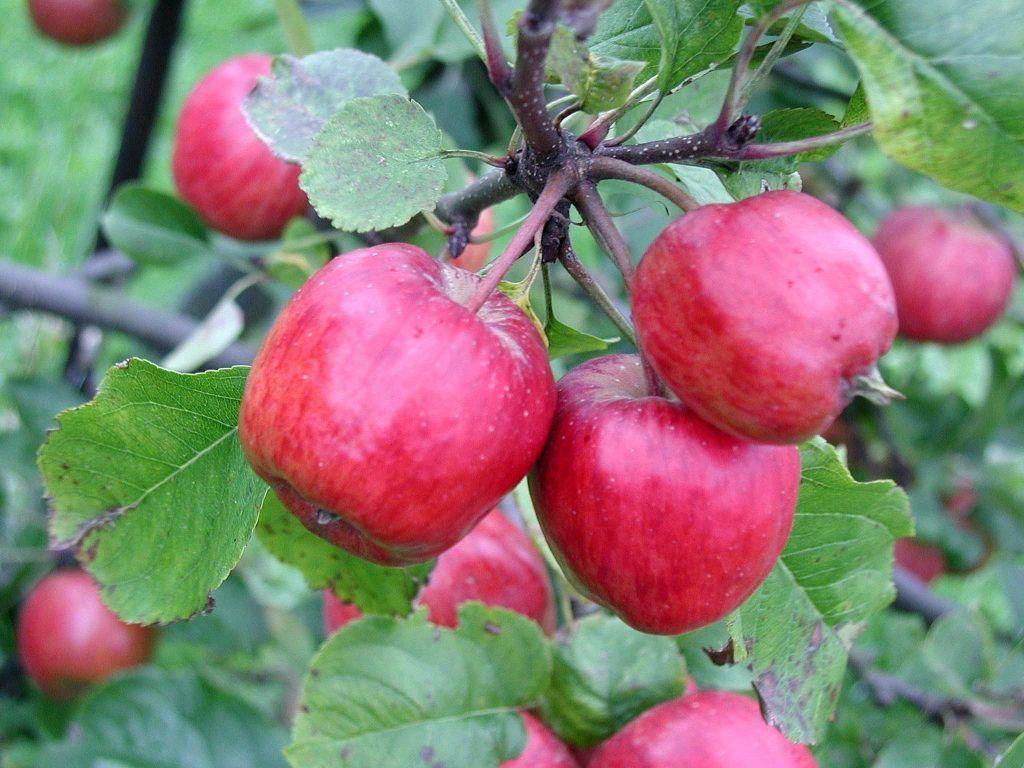 Manzanas rojas en el árbol