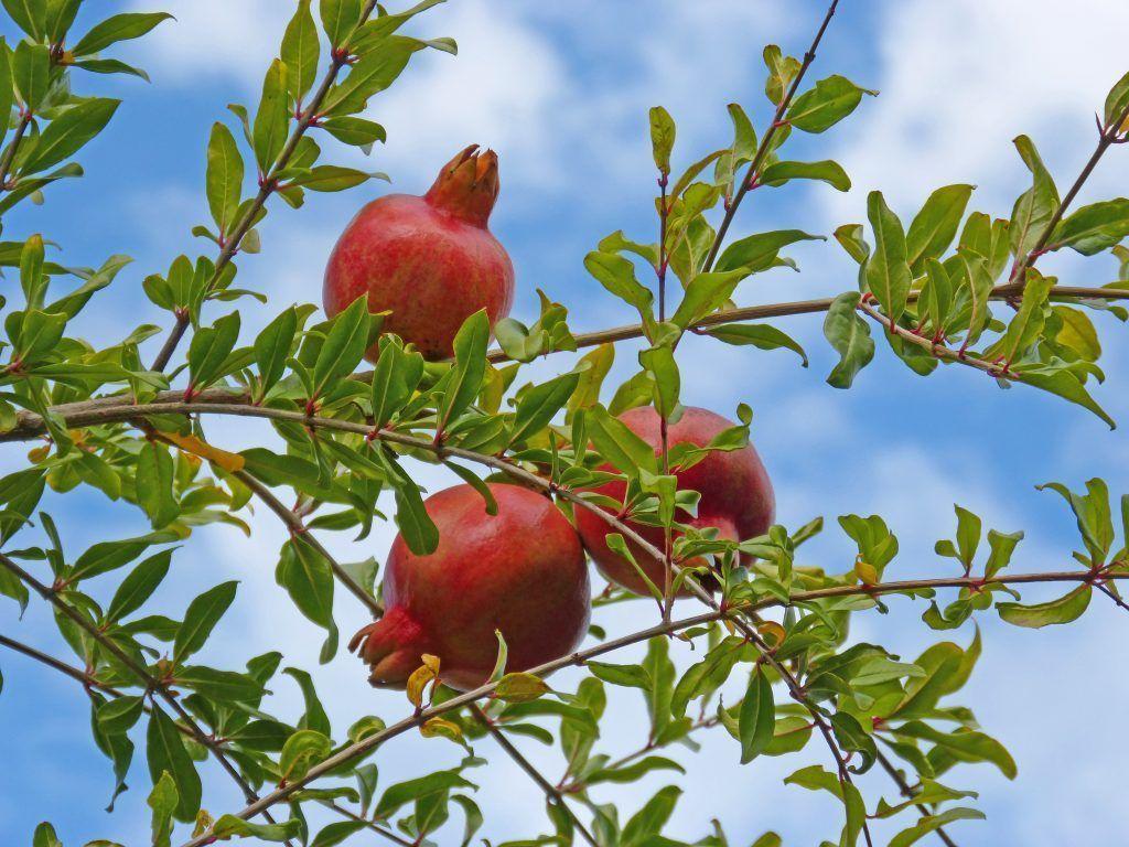 Granada en árbol